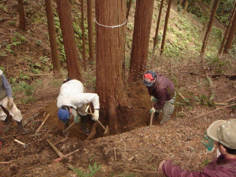 桧の株付き丸太の伐採の準備