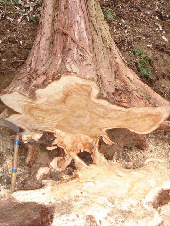 桧の株付き丸太の伐採