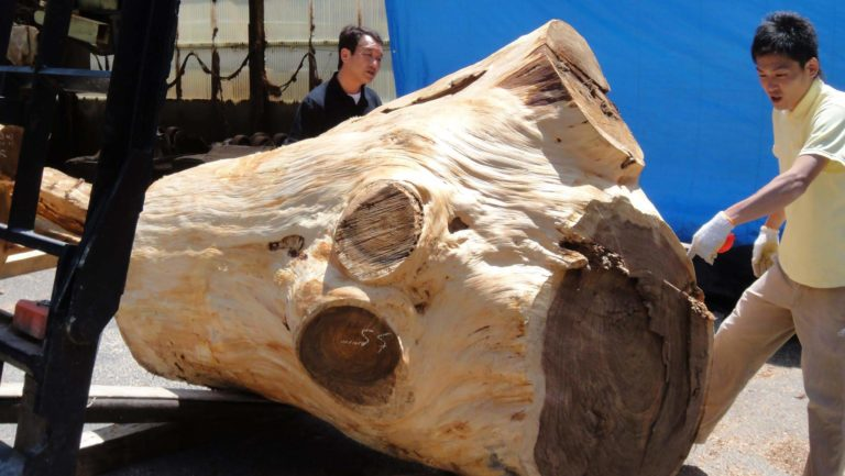 自然木(木採り作業中)