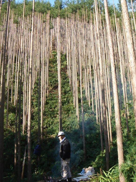 カイフ丸太用山林